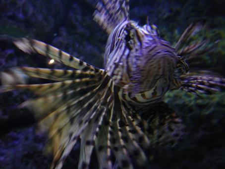 00lionfish.jpg