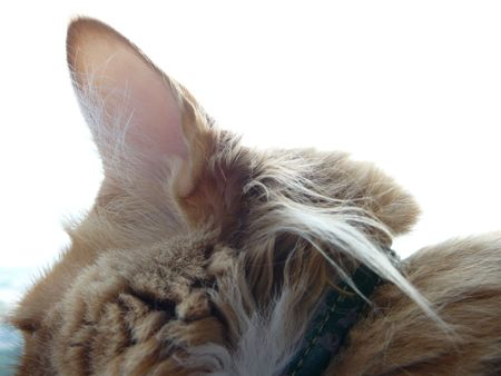 Cats With Tufts Behind Their Ears