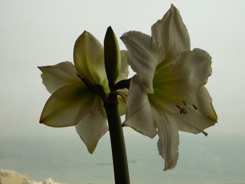 00amaryllis-for-mom.jpg