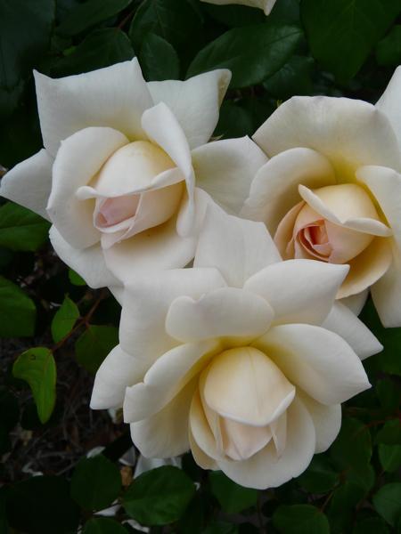Old White Roses