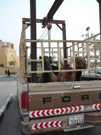 00kuwait-camels