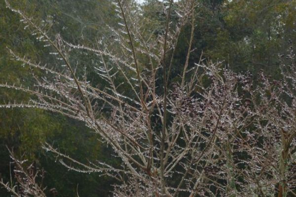 00IcedCrepeMyrtle